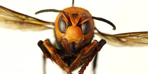 Alarming number of murder hornets which kill 50 Japanese every year hit the UK